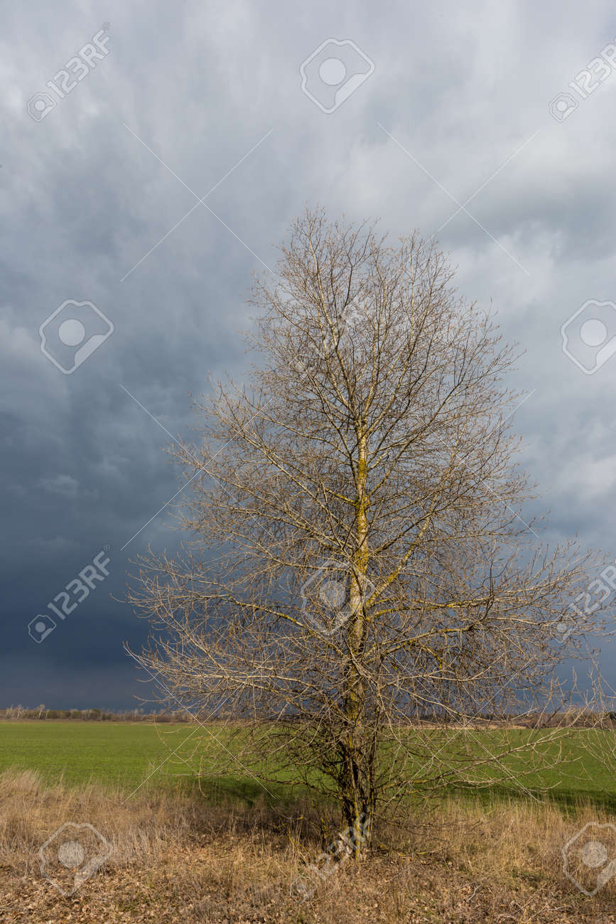 leafless tree on spring meadow before thunderstorm in steppe - 167478978