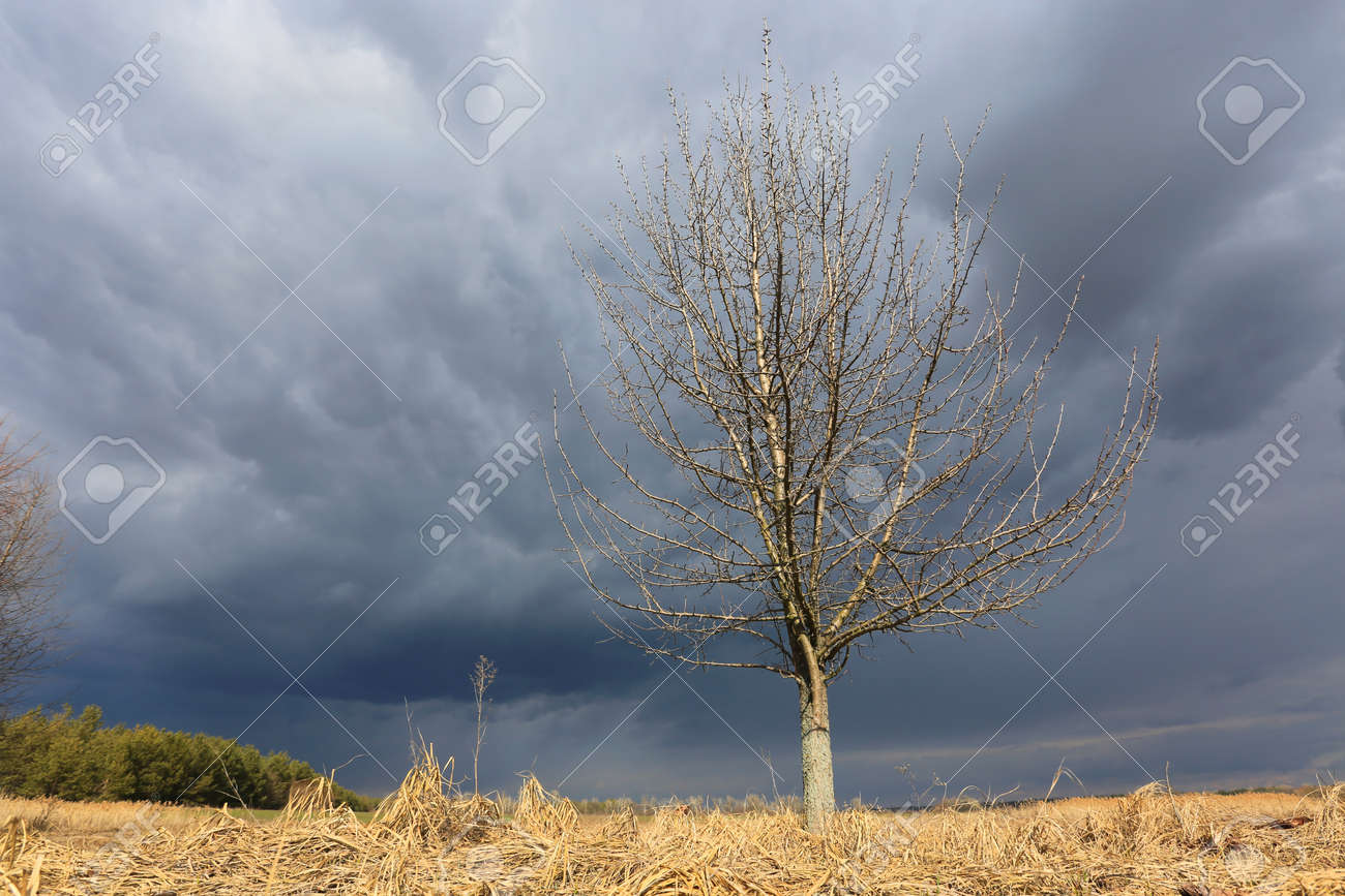 leafless tree on spring meadow unde thunderstorm sky - 168208824