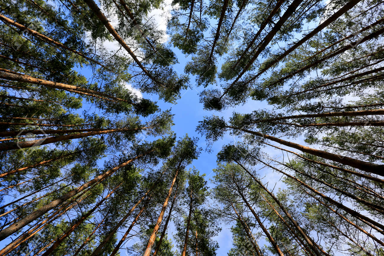 view up on spring sky though pine trees in forest - 168208870