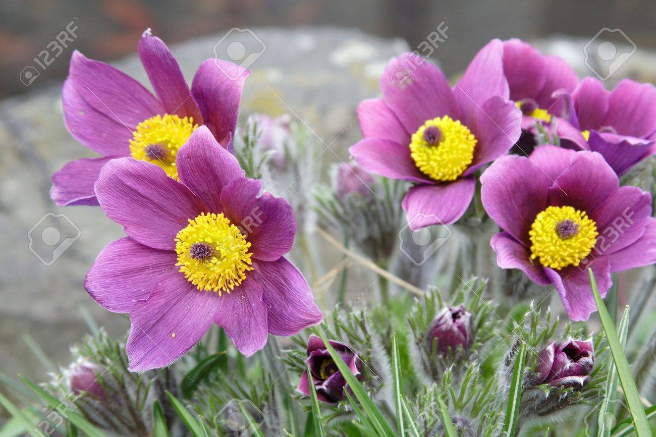 open pasque-flower at spring time Stock Photo - 3008804