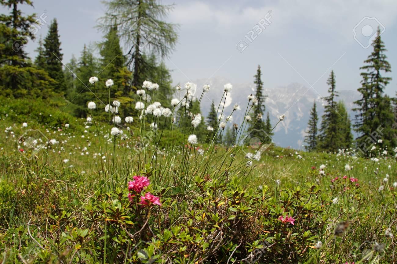 Flower on meadow at high mountains Alp Austria Europe Stock Photo - 14531046
