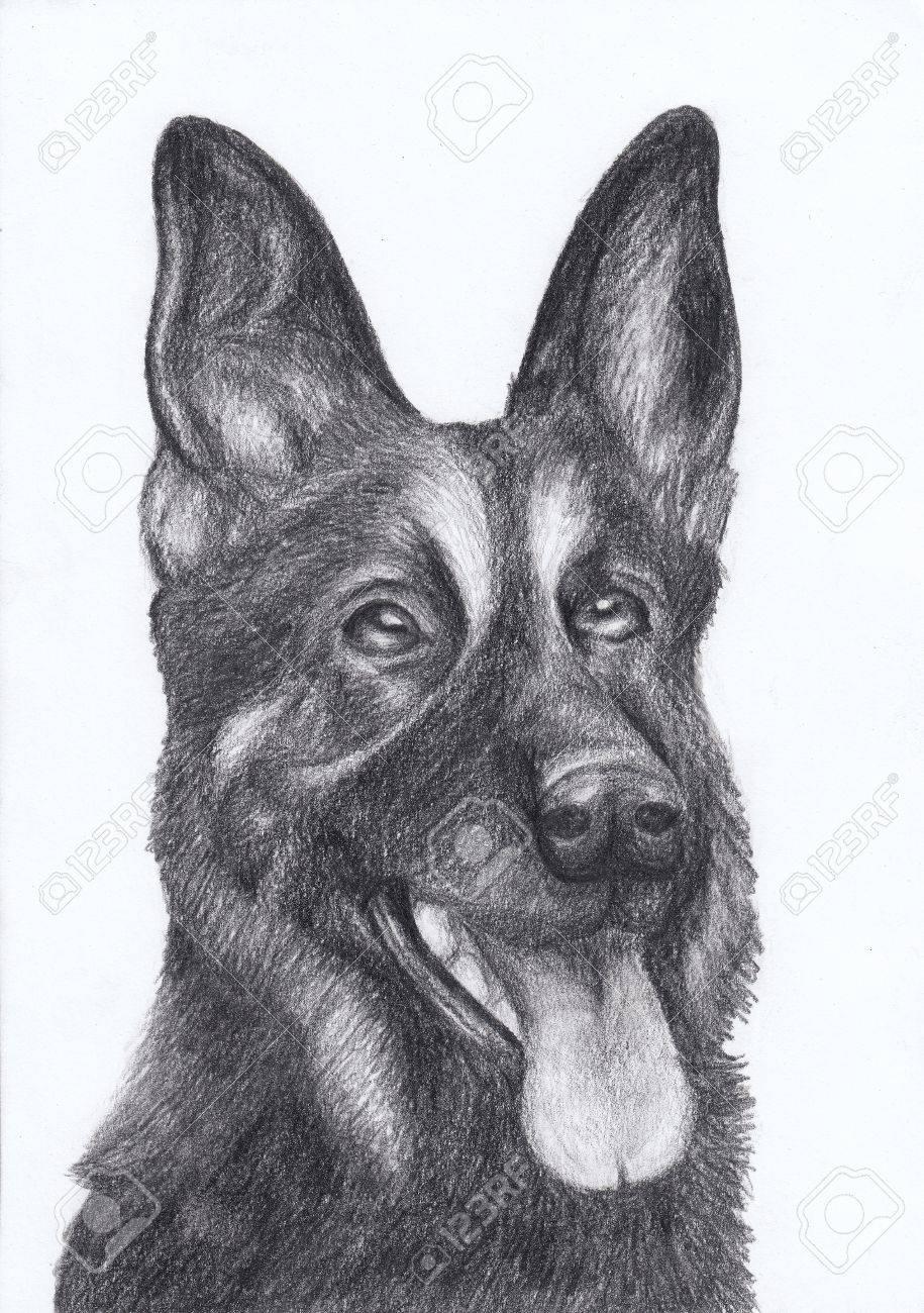 Dog Portrait German Shepherd Hand Draw Pencil Stock Photo Picture - German-shepherd-drawings
