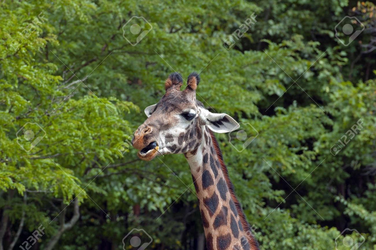 Giraffe portrait eating green leaves background Stock Photo - 17300995