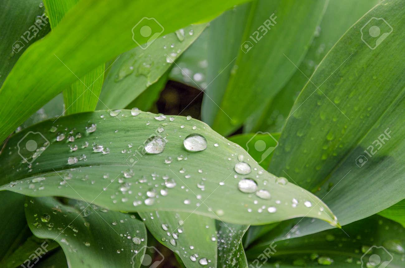 谷のユリと露の雫が葉に の写真素材・画像素材 Image 41123317.