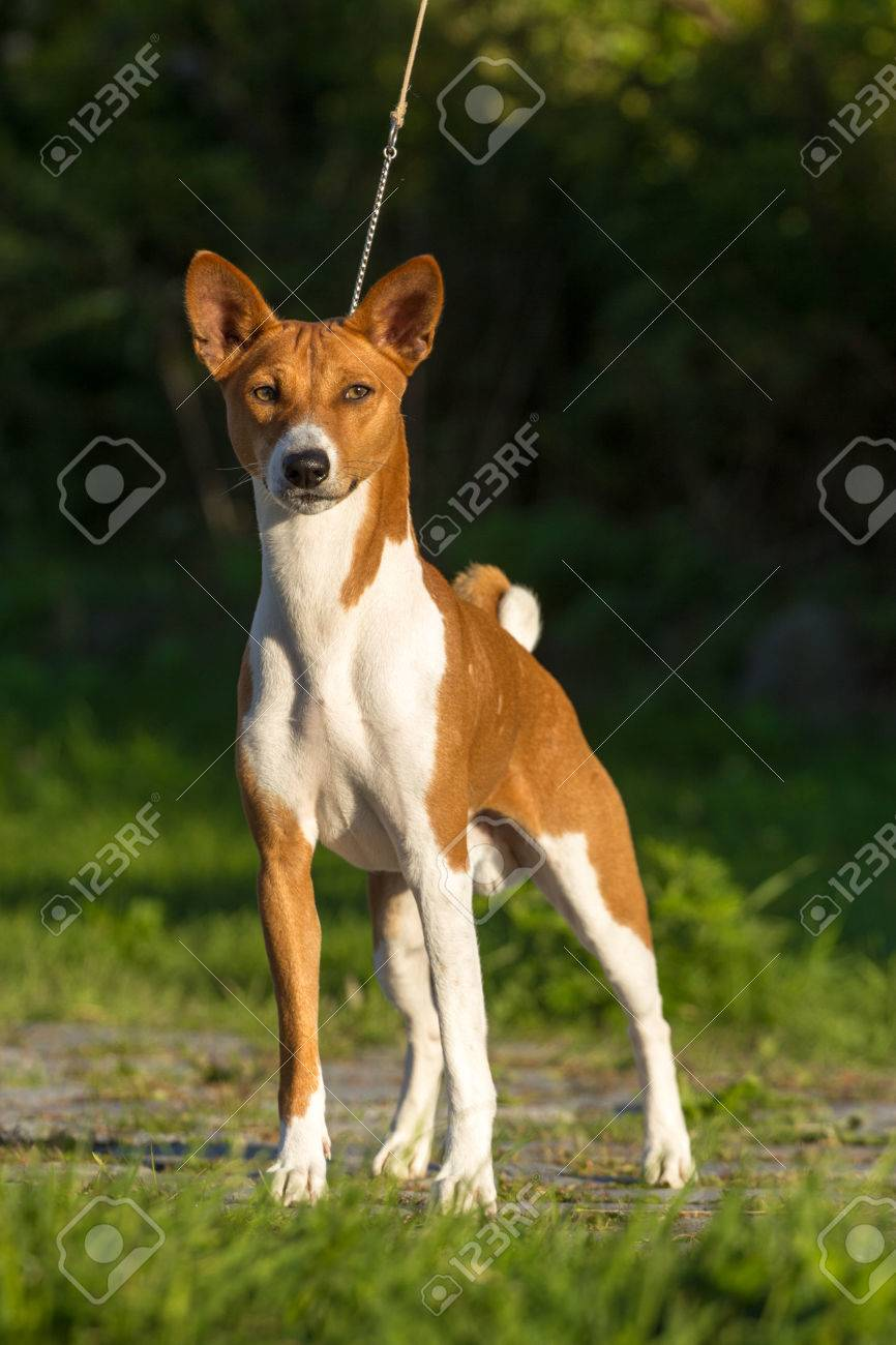 Small Hunting Dog Breed Basenji Looking Forward Stock Photo Picture And Royalty Free Image Image 32015409