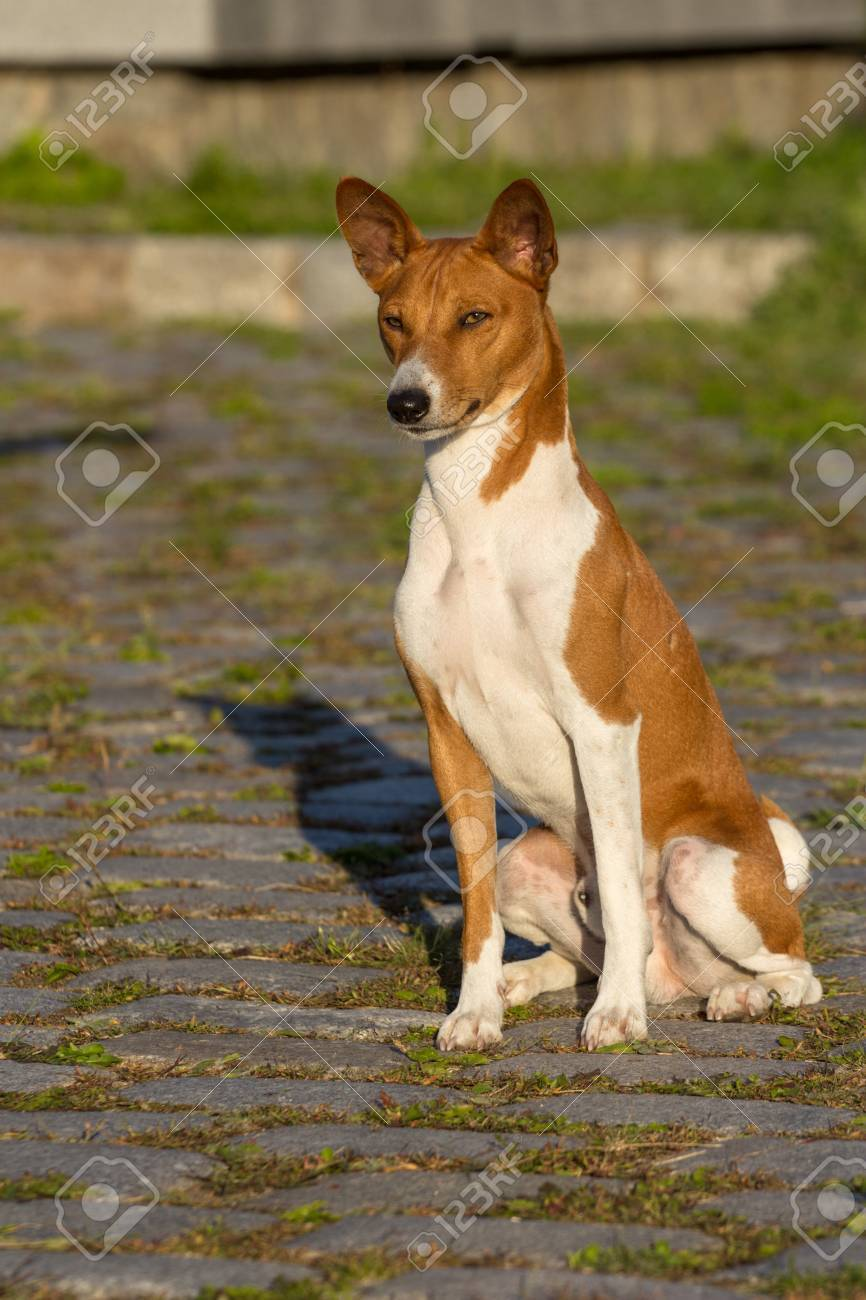 Small Hunting Dog Breed Basenji Looking Forward Stock Photo Picture And Royalty Free Image Image 32015426