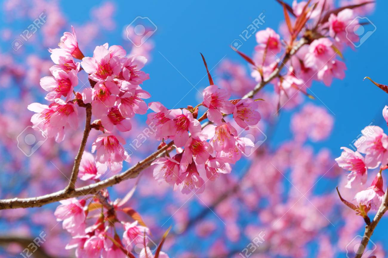 58708ecf3 Beautiful cherry blossom, pink sakura flowers with blue sky in spring. Soft  focus Stock