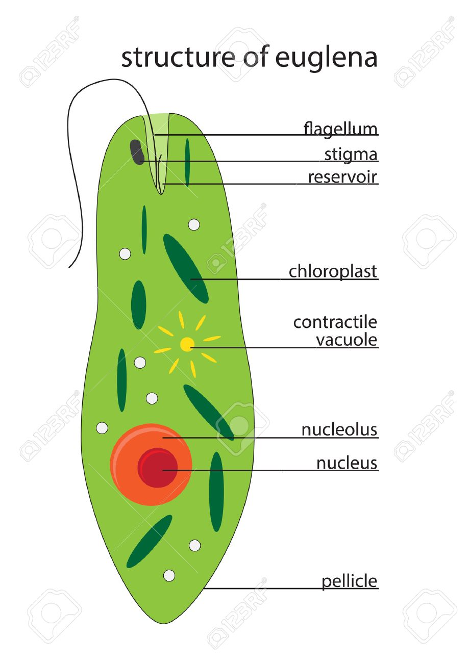 Vector Illustration Of Euglena Structure With Description Royalty ...