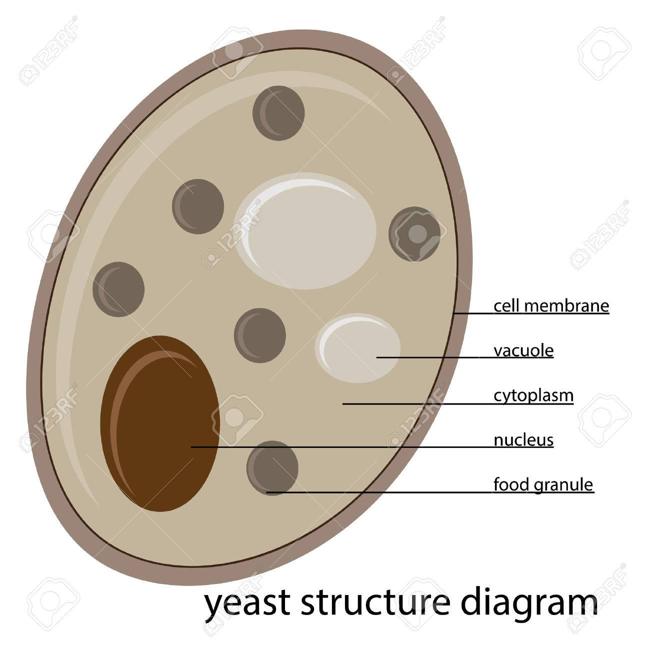 Vector yeast structure diagram royalty free cliparts vectors and vector vector yeast structure diagram ccuart Gallery