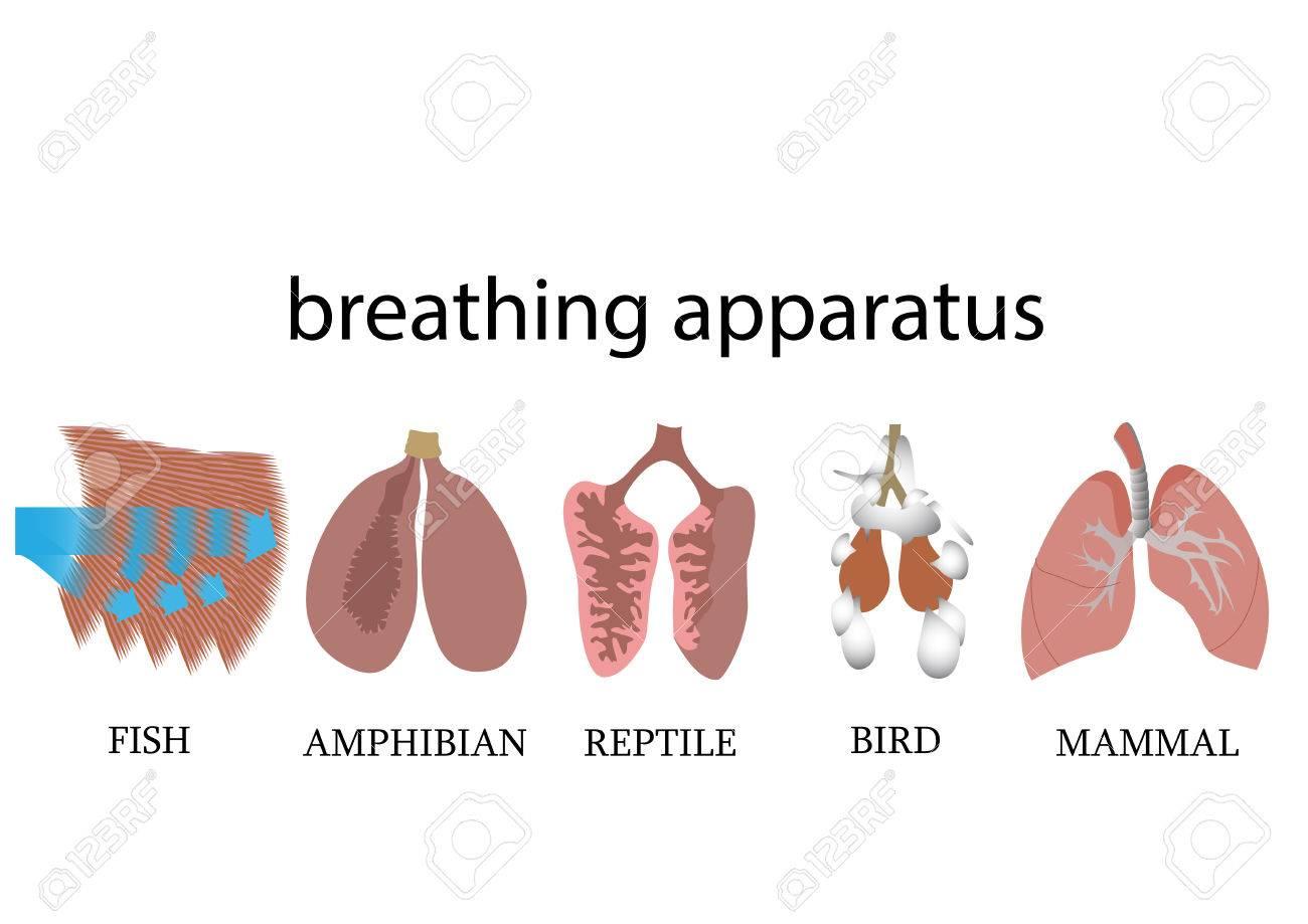 Comparison Of Breathing Apparatus Anatomy Of Vertebrates. Vector ...