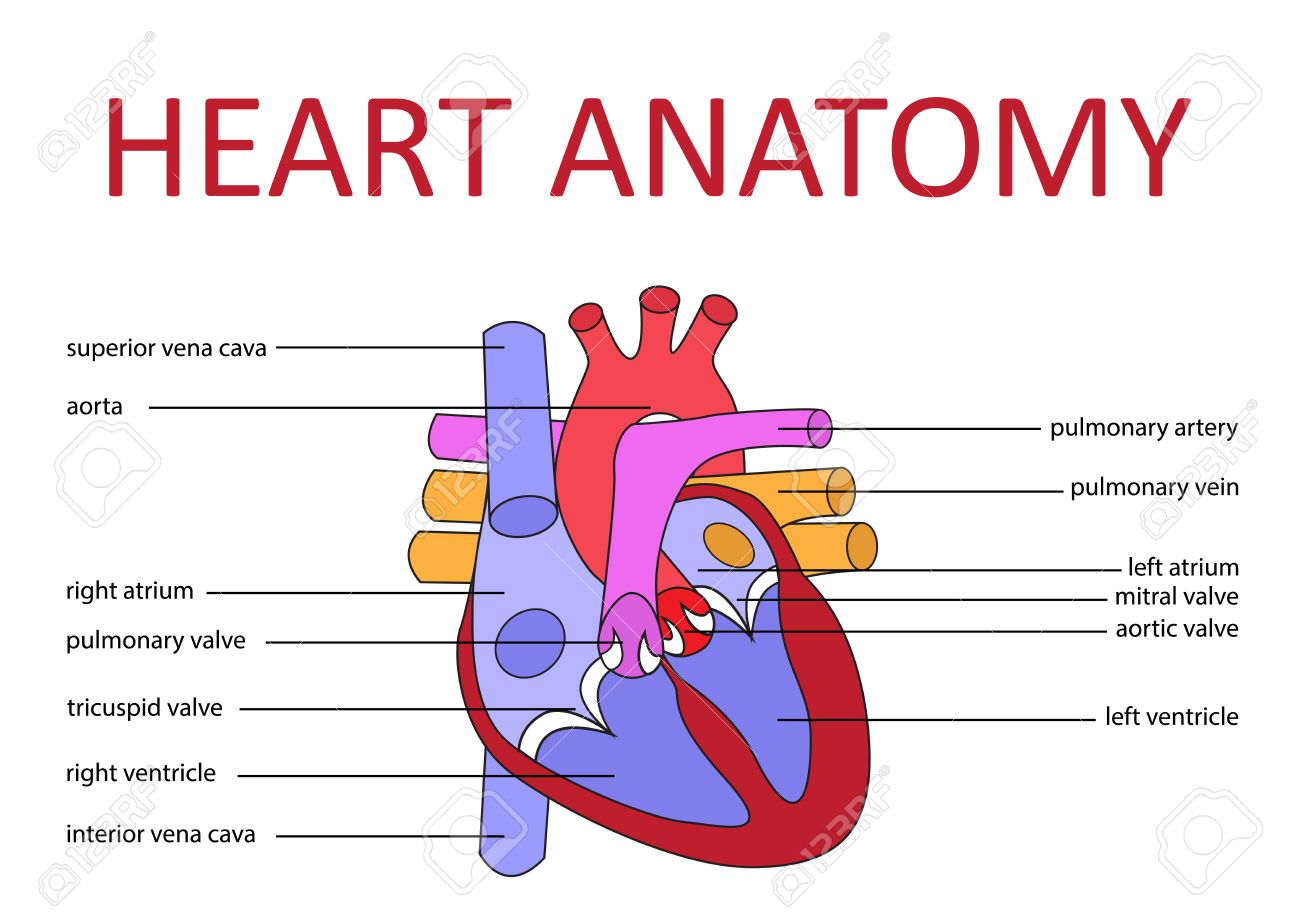 Human Heart Anatomy Schematic Diagram Vector Illustration Royalty