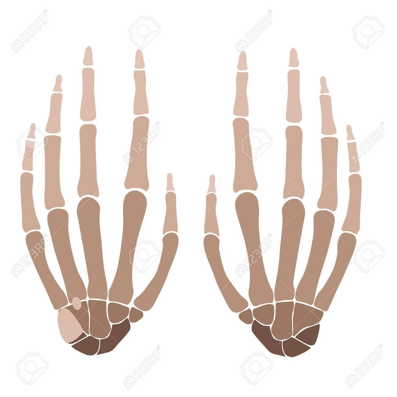 Excelente Huesos De La Anatomía De La Mano Patrón - Anatomía de Las ...