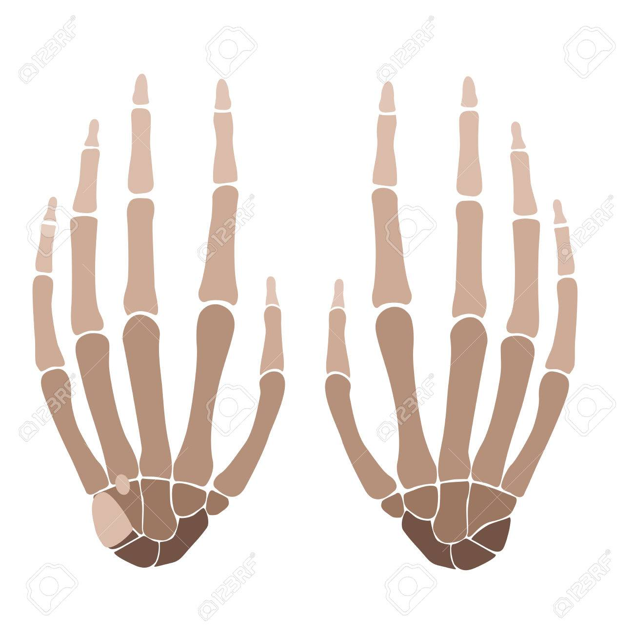 Vector Illustration Of A Human Hand Bones Anatomy Royalty Free