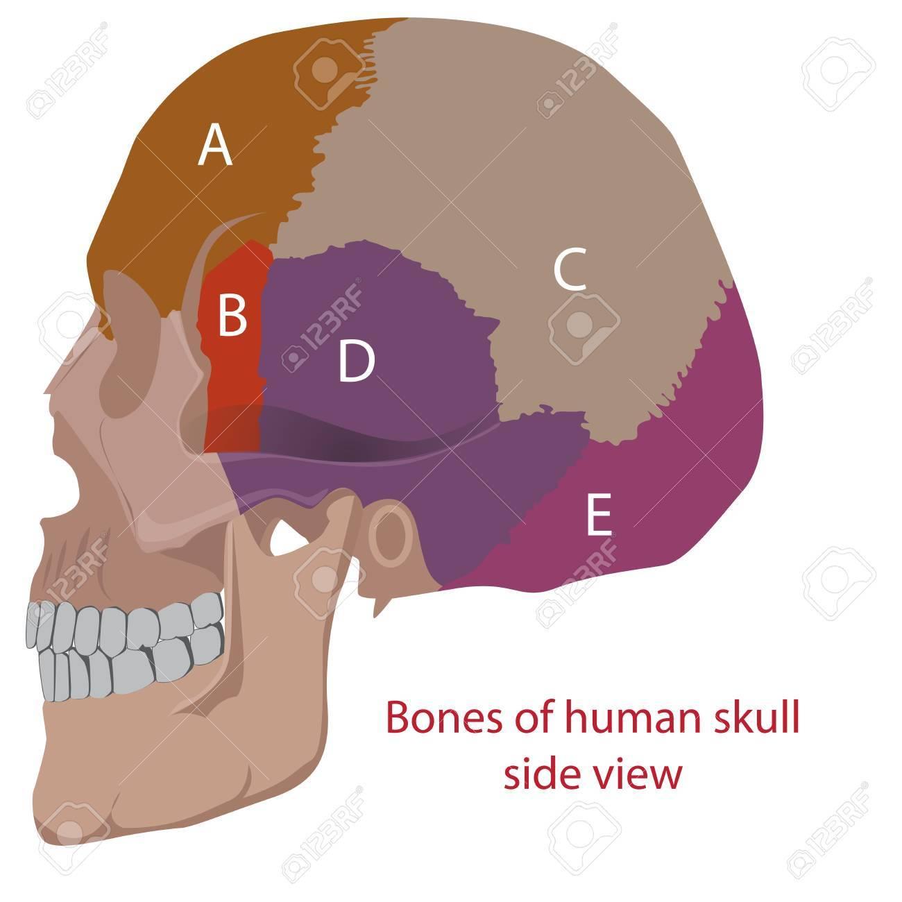 Ilustración De Un Huesos Humanos Tipos De Cabeza. Vista Lateral ...