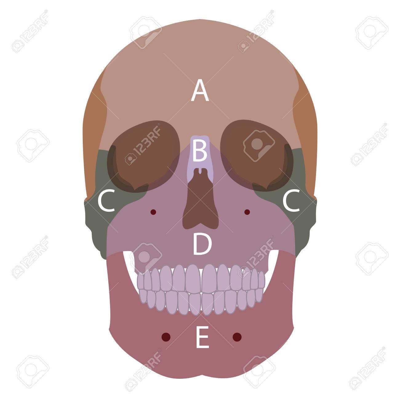 Ilustración De Un Huesos Humanos Tipos De Cabeza. Vista Frontal ...