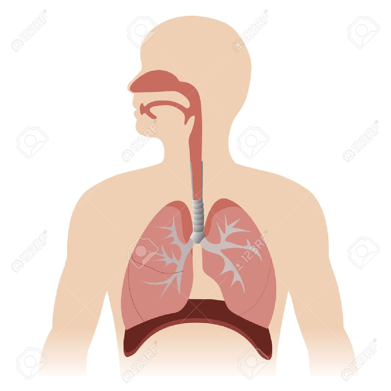 Human Respiratory System Anatomy Vector Format Illustration