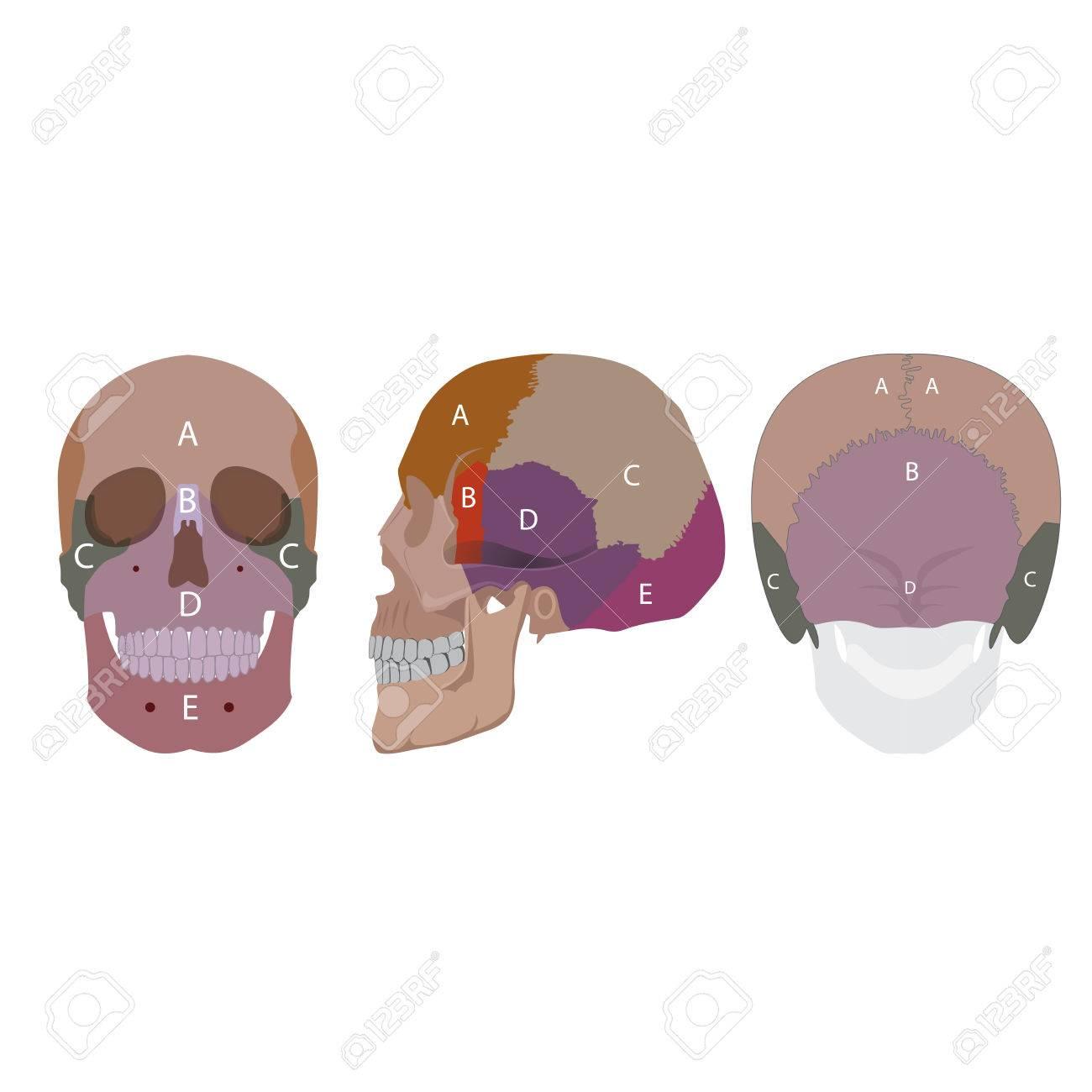 Ilustración De Un Ser Humano Tipos Huesos De La Cabeza. Fachada ...