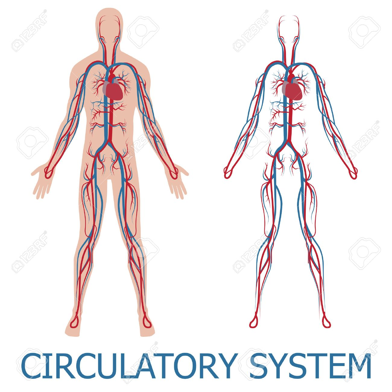 Human Circulatory System Illustration Of Blood Circulation In