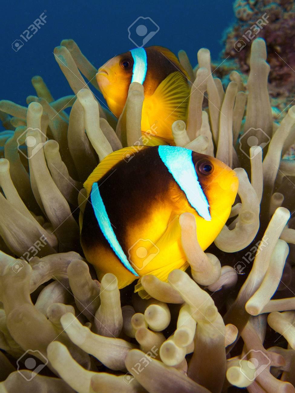 Clownfish - 62410335