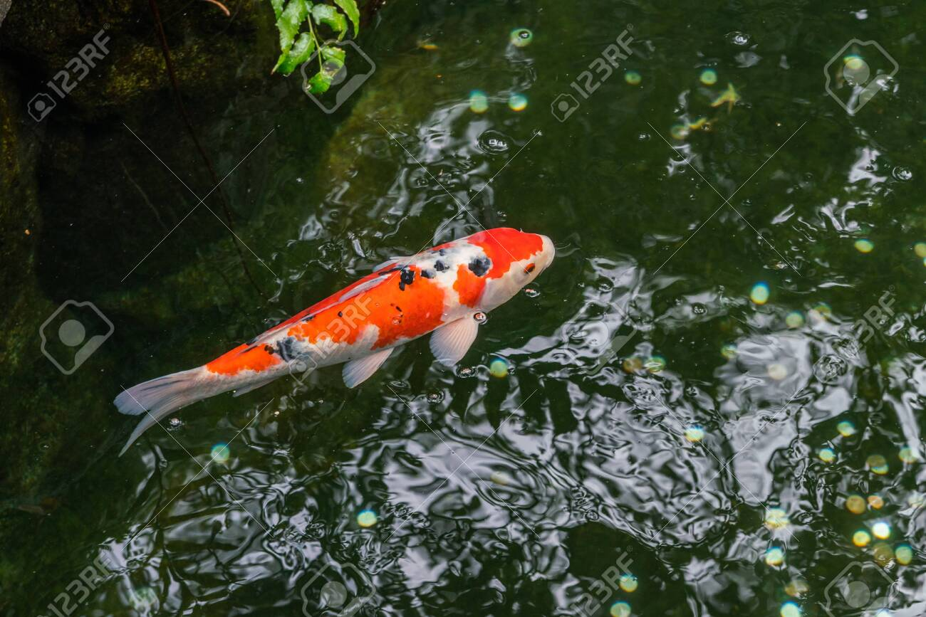 A large spotted red carp swims in the shady pond of Ueno Park in Tokyo on a clear sunny day - 146015313