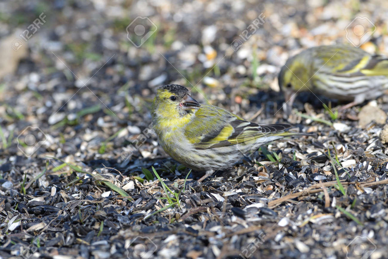 The pine siskin bird eating seeds rack from the ground - 168381792