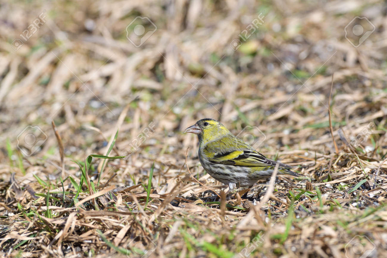 The pine siskin bird eating seeds rack from the ground - 168381794