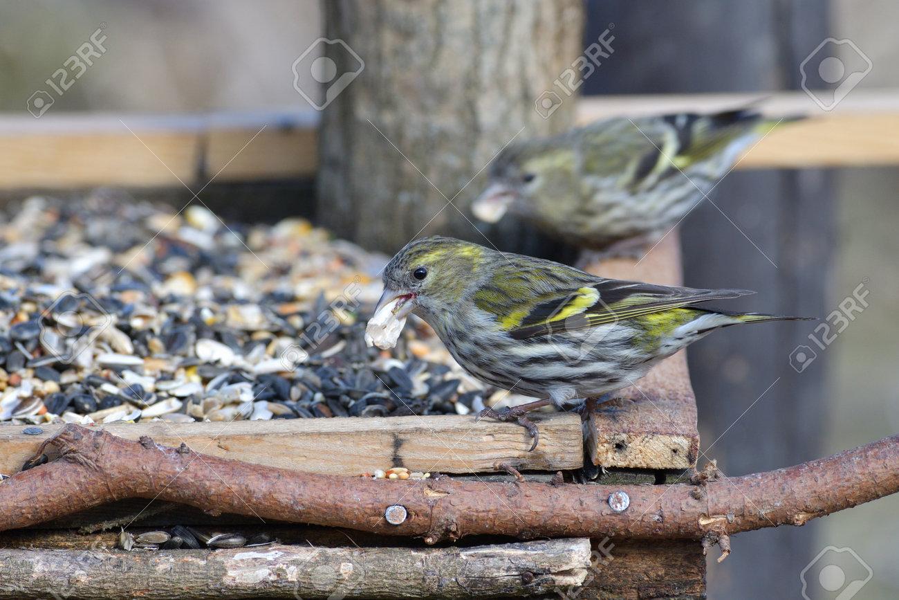 The pine siskin bird eating sunflowers on feeder rack in the spring - 168381795
