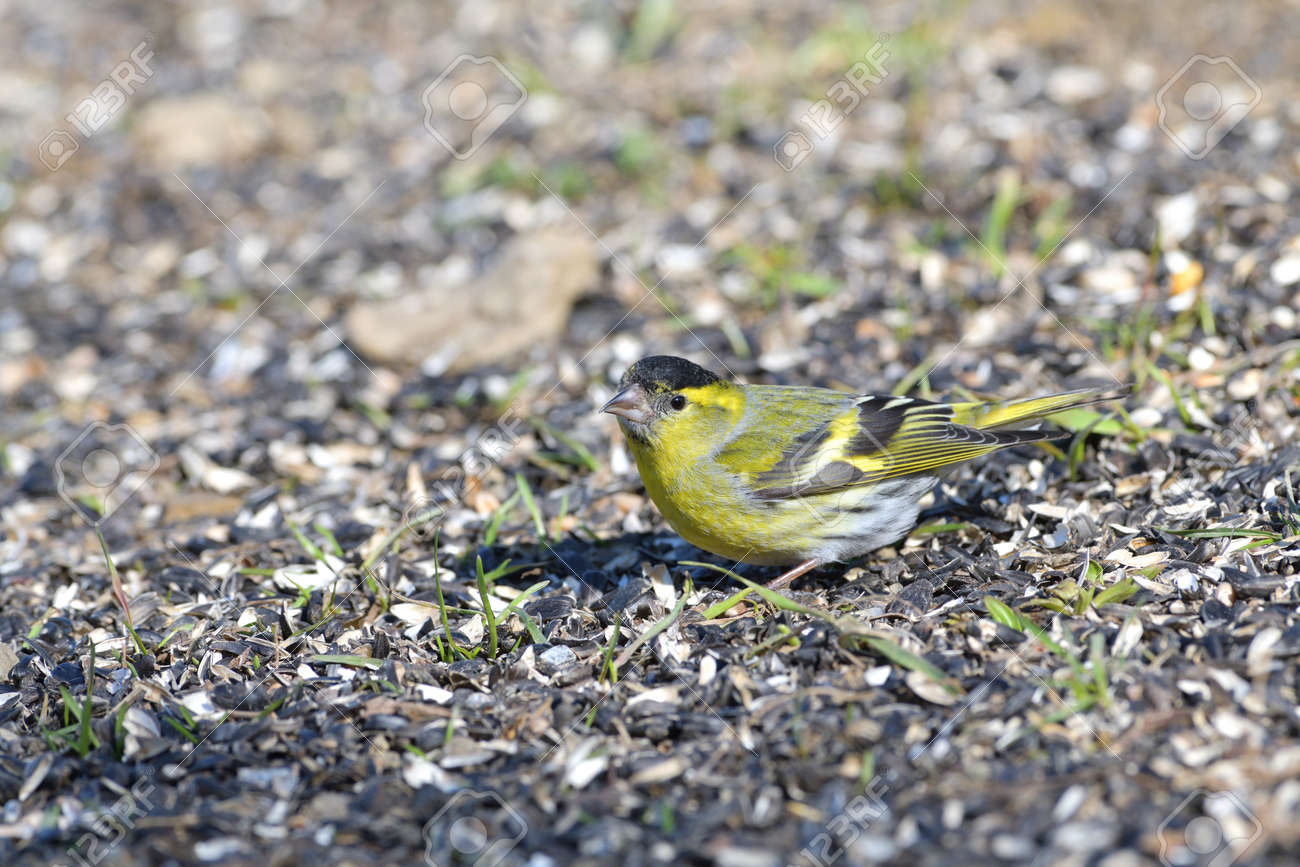 The pine siskin bird eating seeds rack from the ground - 168381796