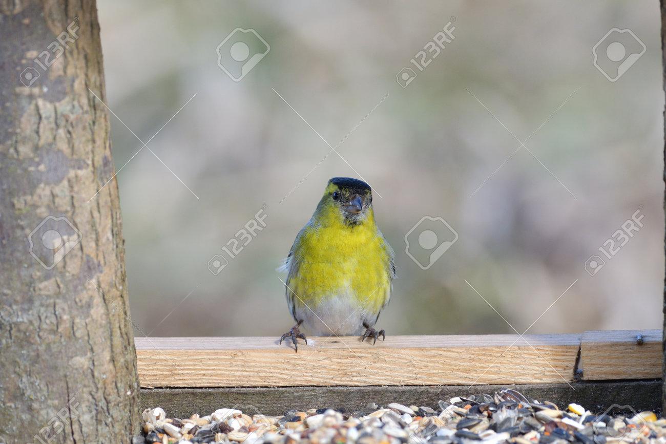 The pine siskin bird eating sunflowers on feeder rack in the spring - 168381798