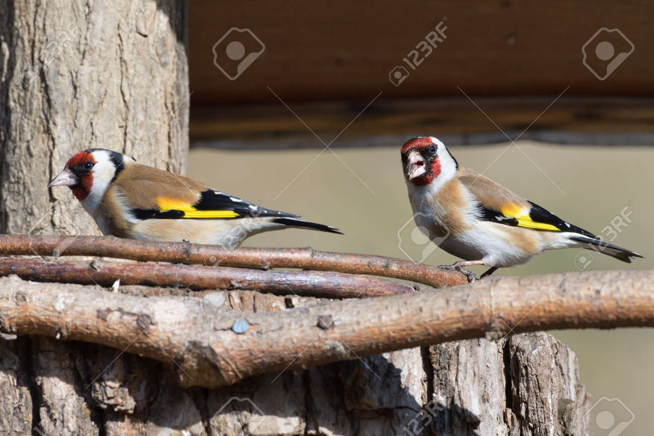 Portrait of bird goldfinch eating fruits and seeds on feeder rack - 168381804