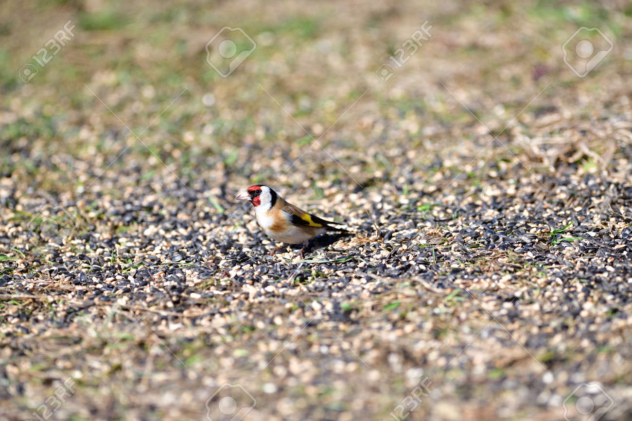 Flock of bird goldfinch eating seeds from the ground in spring - 168381809