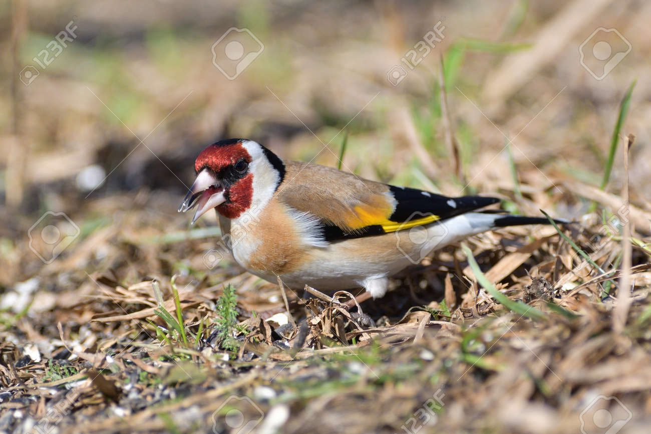 Bird goldfinch feeding of animal game and help of people loving nature - 168381816