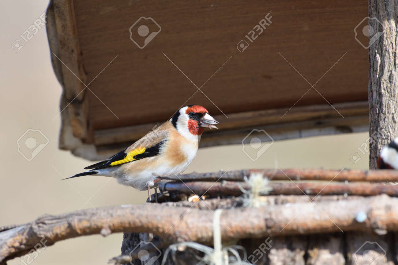 Portrait of bird goldfinch eating fruits and seeds on feeder rack - 168381820