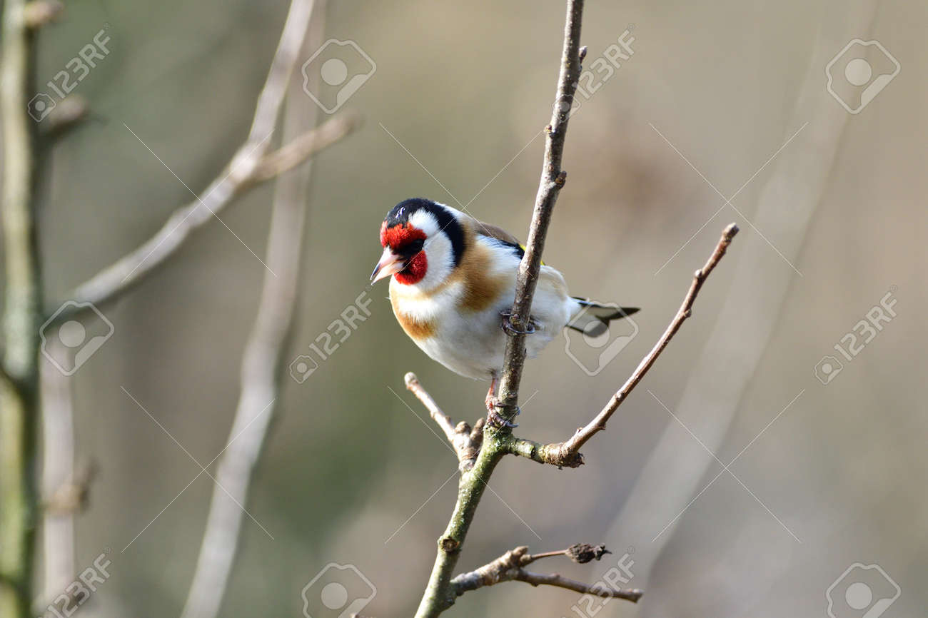 Portrait of bird goldfinch sitting on the branch in the sunny autumn - 168381823