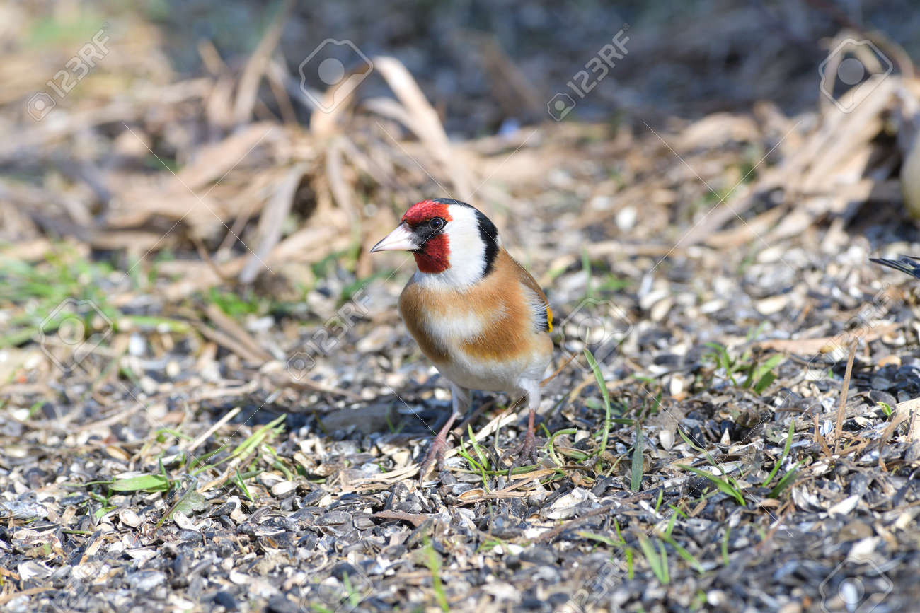 Bird goldfinch feeding of animal game and help of people loving nature - 168381827