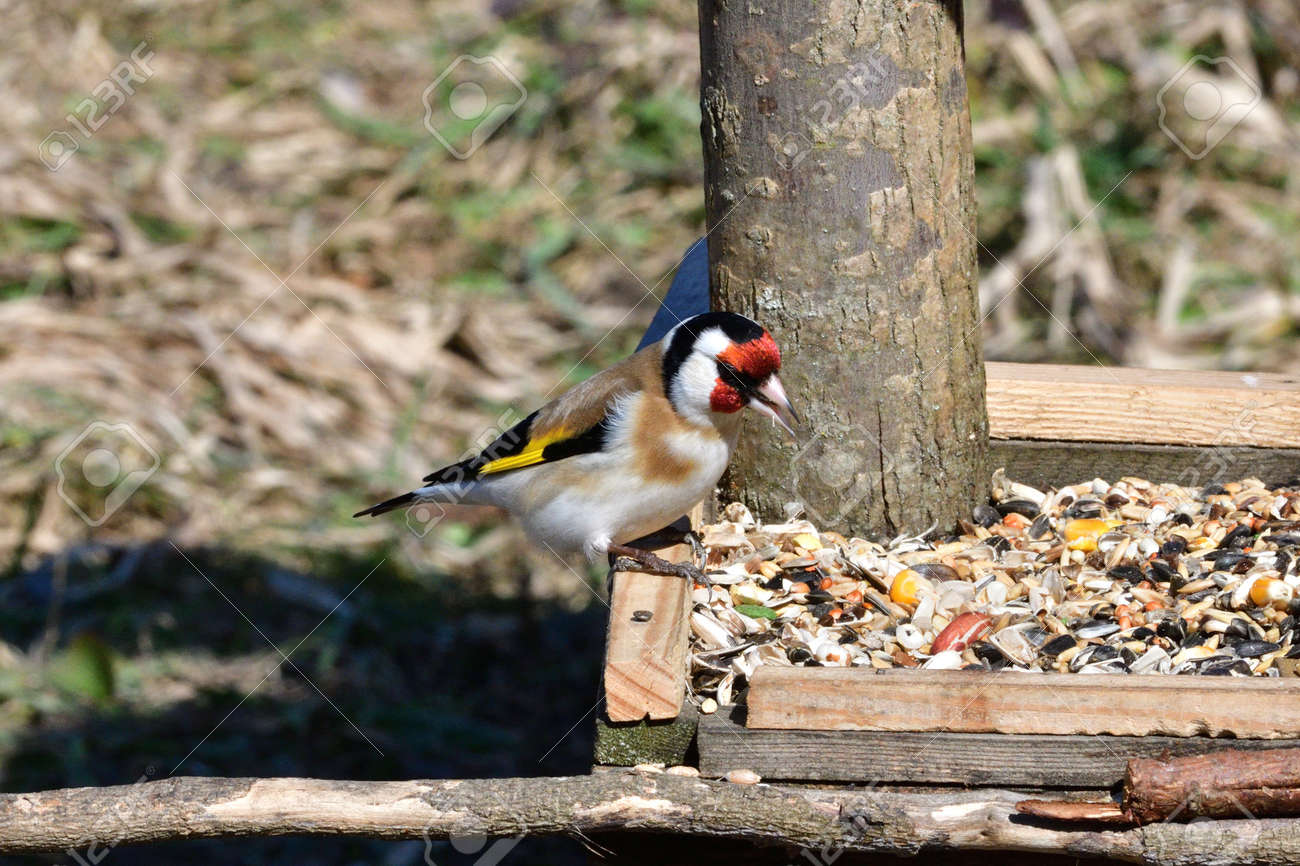 Portrait of bird goldfinch eating fruits and seeds on feeder rack - 168381829