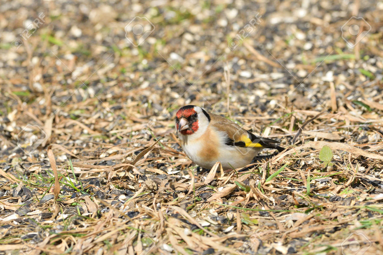 Flock of bird goldfinch eating seeds from the ground in spring - 168381840