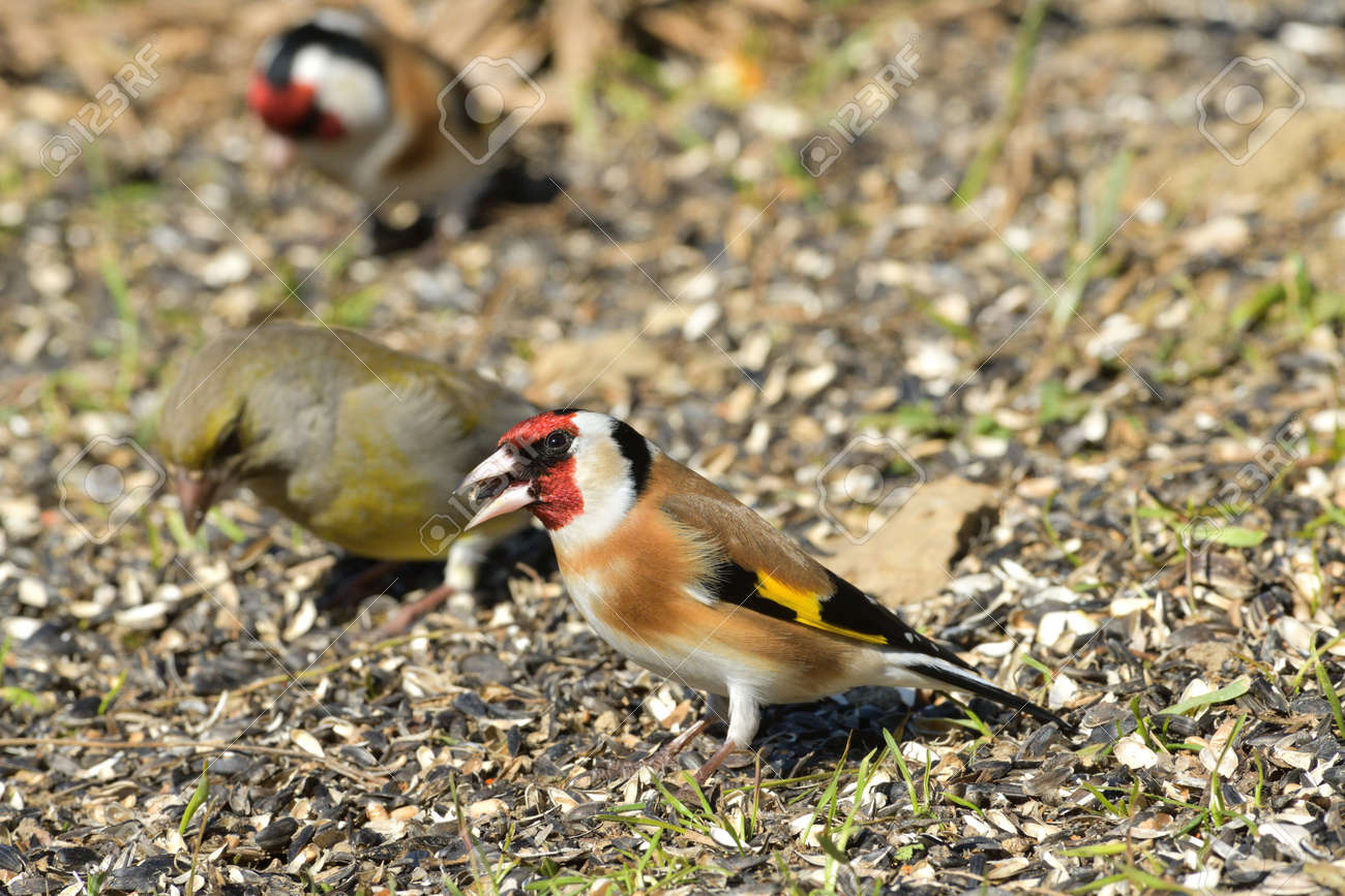 Bird goldfinch feeding of animal game and help of people loving nature - 168381842