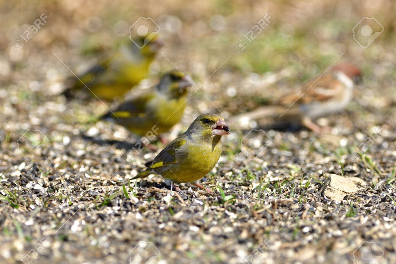 Flock of bird greenfinch eating seeds from the ground in spring - 168381849