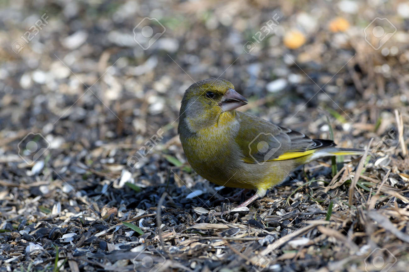 Bird greenfinch feeding of animal game and help of people loving nature - 168381852
