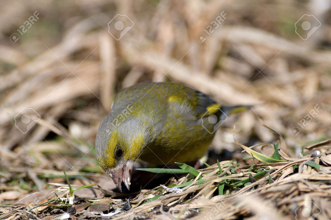 Flock of bird greenfinch eating seeds from the ground in spring - 168381853