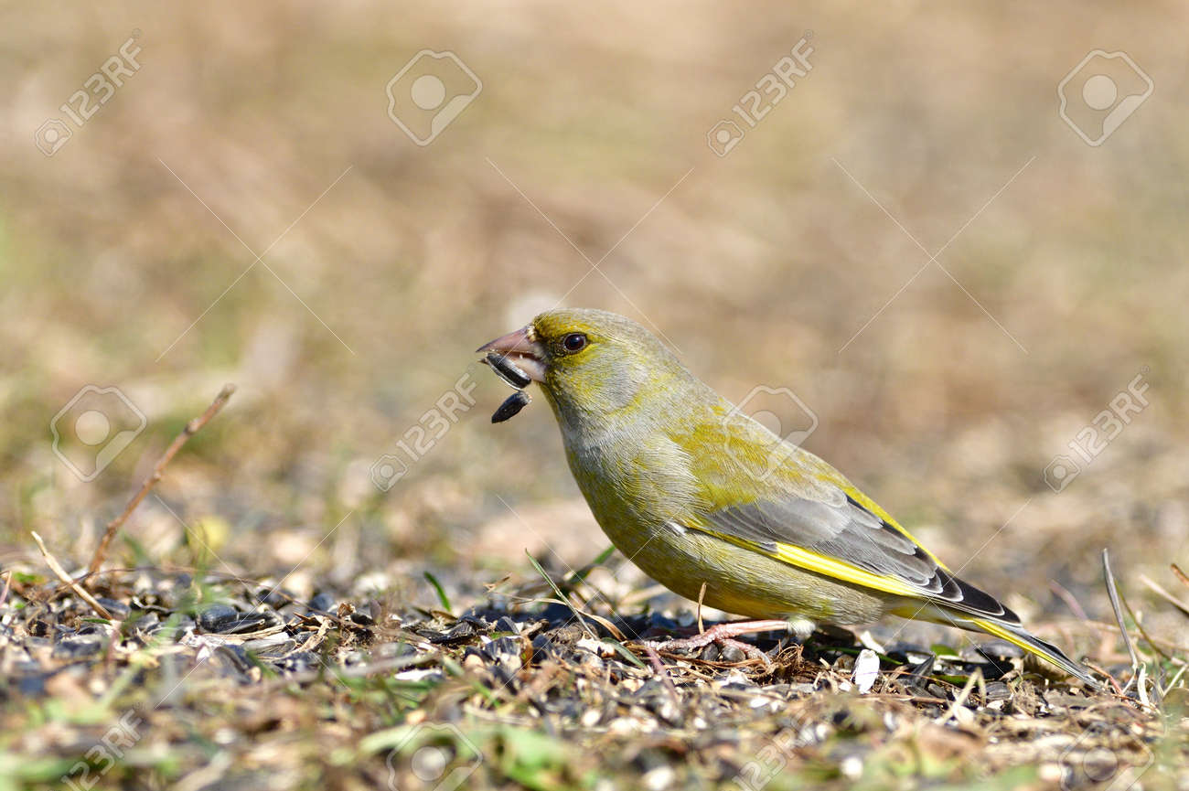 Portrait of bird greenfinch sitting on the grass in the sunny autumn - 168381854