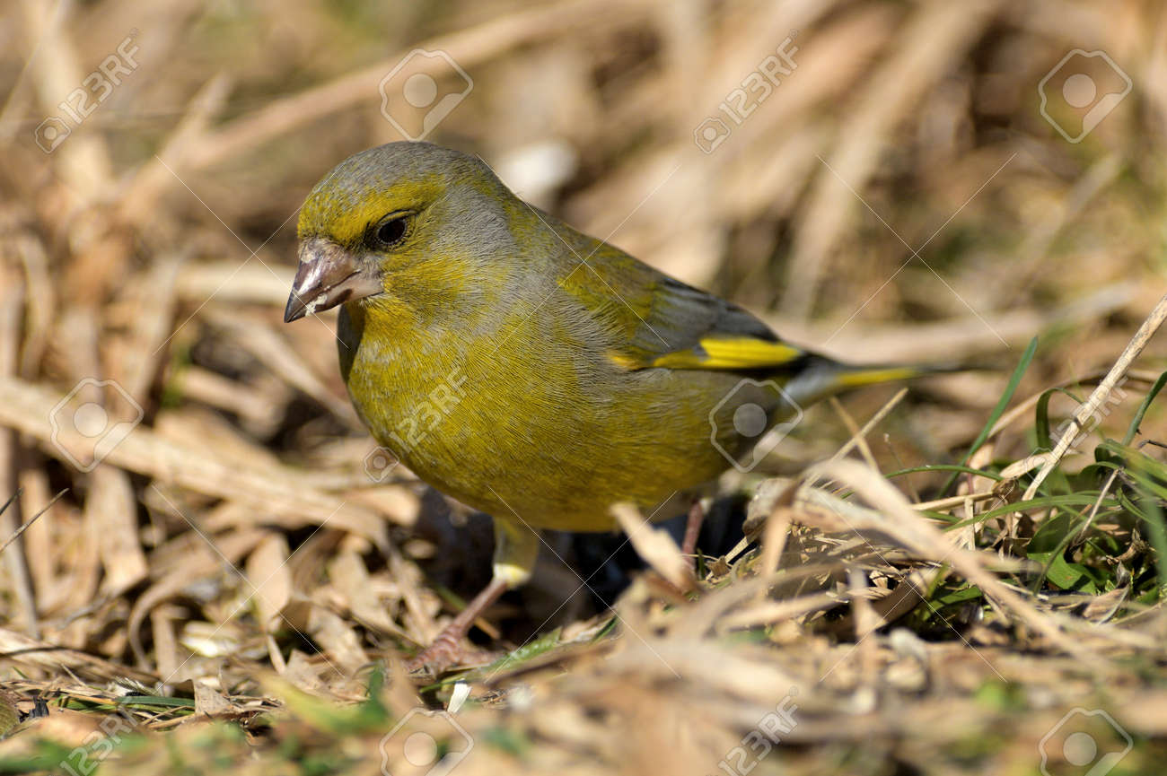 Portrait of bird greenfinch sitting on the grass in the sunny autumn - 168381857