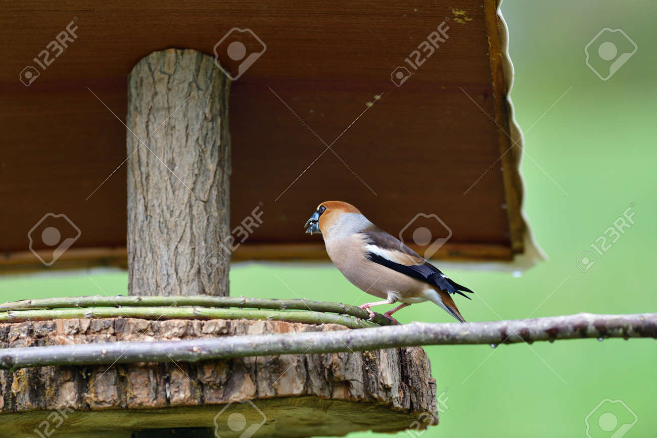 Hawfinch sitting on the rack with sunflower in its beak - 168381865