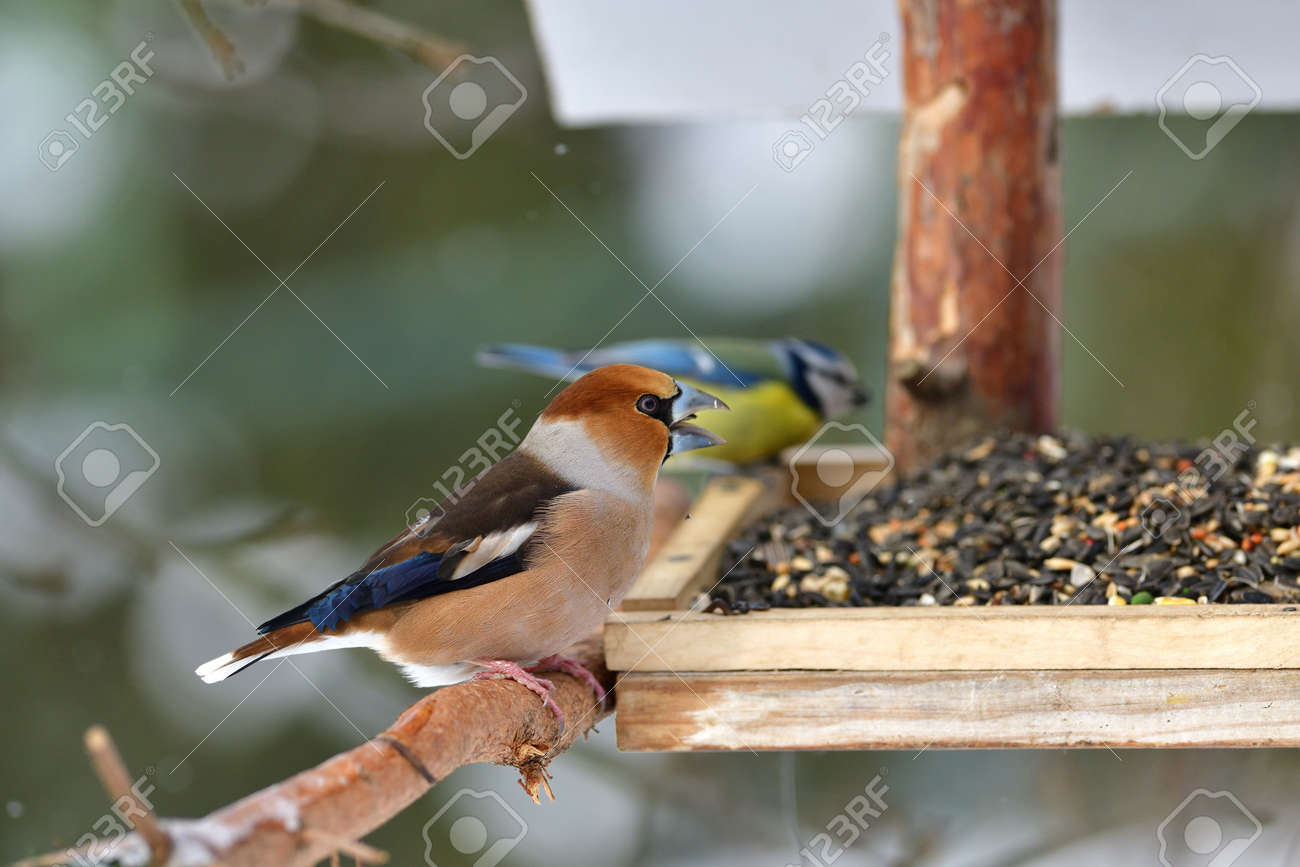 Hawfinch bird eating sunflowers and seeds on the fodder rack - 168381866