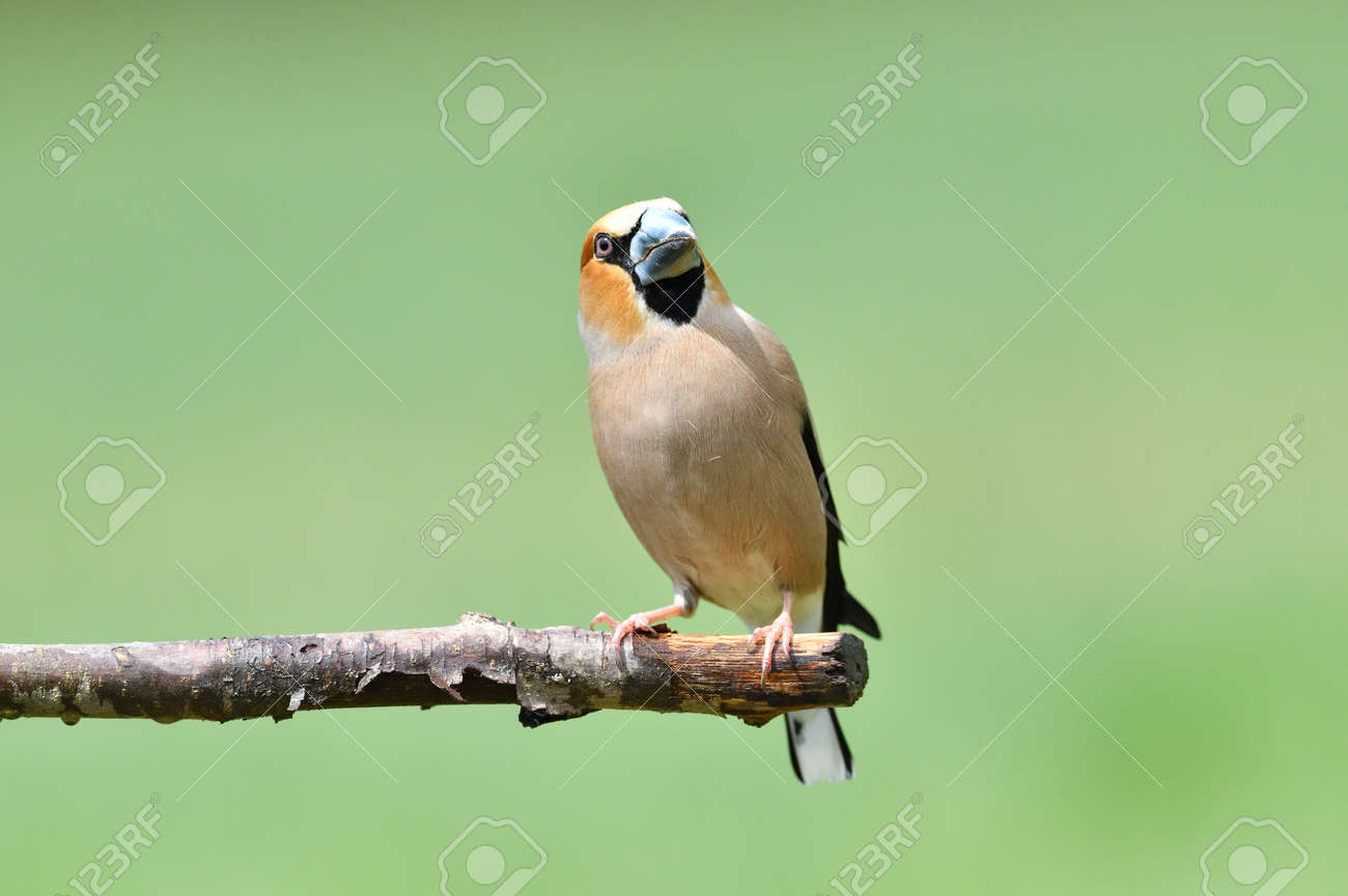 Portrait of the hawfinch sitting on tree branch in the spring - 168381874