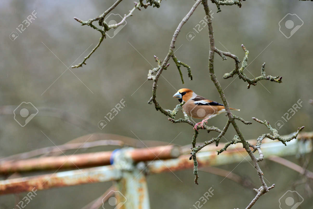 Portrait of the hawfinch sitting on tree branch in the spring - 168381875