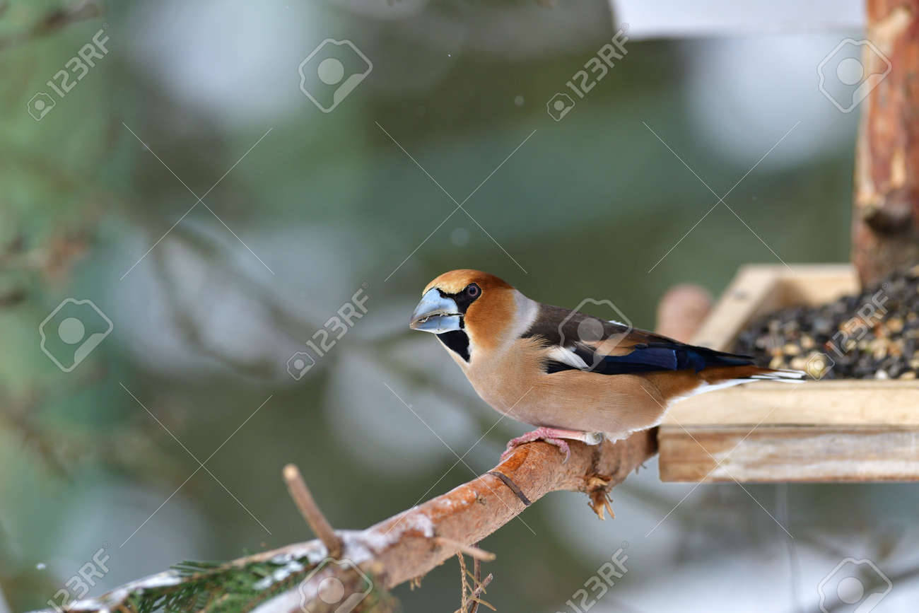 Hawfinch sitting on the rack with sunflower in its beak - 168381877