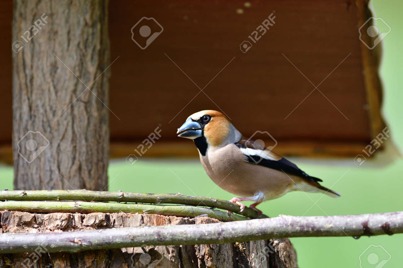 Hawfinch bird eating sunflowers and seeds on the fodder rack - 168381878