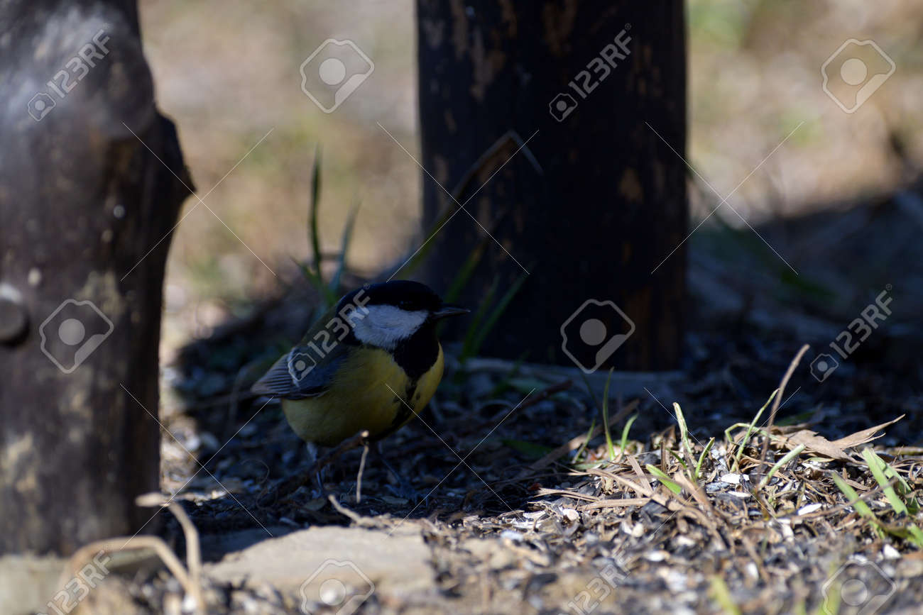 The great tit walks on the grass and eats sunflower seeds fallen from the feed - 170153622